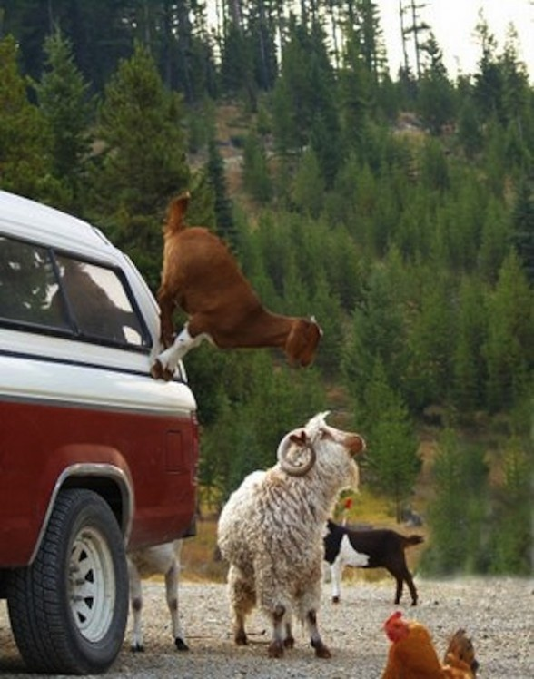 goat on a truck. they're freaks like that.Goats, Animal Captions, Animal Pictures, Funny Pics, Baby Animal, Funny Animal, Funny Baby, Funny Memes, Animal Memes
