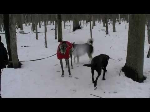 ▶ Comportementaliste canin: Signaux d'apaisement chez le chien - YouTube