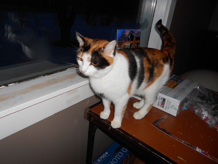 This is mitten she is best hunter and she brings me gifts like dead birds. She is a calico American shorthair and she has had a medical sickness her whole life