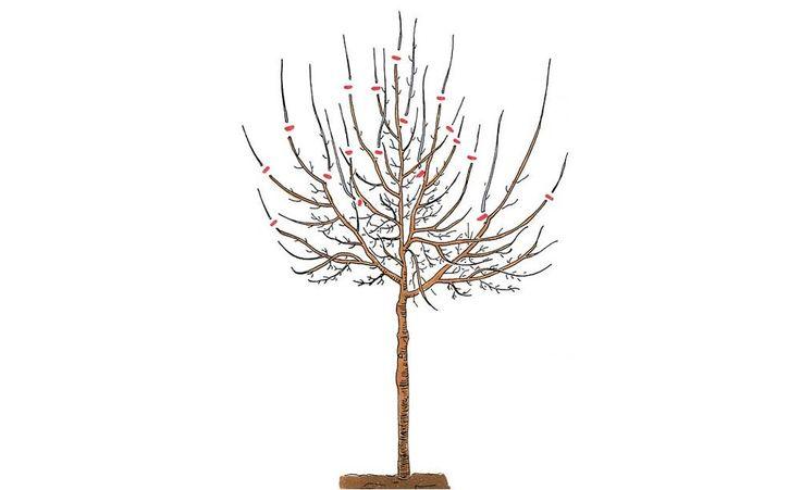 Erziehungs- und Aufbauschnitt an einem fünfjährigen Pflaumenbaum: Entfernen Sie alle Konkurrenztriebe sowie zu dicht stehende Langtriebe, damit die Krone innen luftig bleibt. Kürzen Sie dann den Mitteltrieb und die übrigen stärkeren Seitentriebe ein, um eine schnelle Vergreisung im Kroneninneren zu verhindern