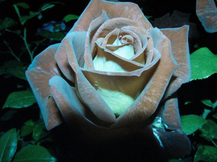 CHOCOLATE MINT ROSE RARE ROSE 100 SEEDS AL1985SC ROSE BUSH BROWN GREEN