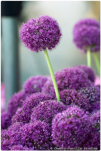alium in front of the chicken yard fence
