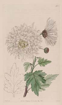 21 Chrysanthemum indicum L. [2995-239710]
