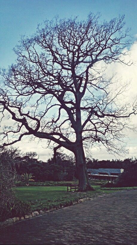 Beautiful Leafless Tree At Kirstenbosch Botanical Gardens In Cape Town.