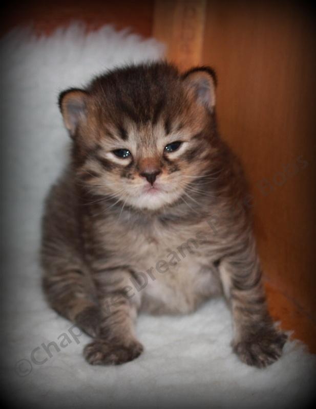 Pixie Bob Cat - Kitten