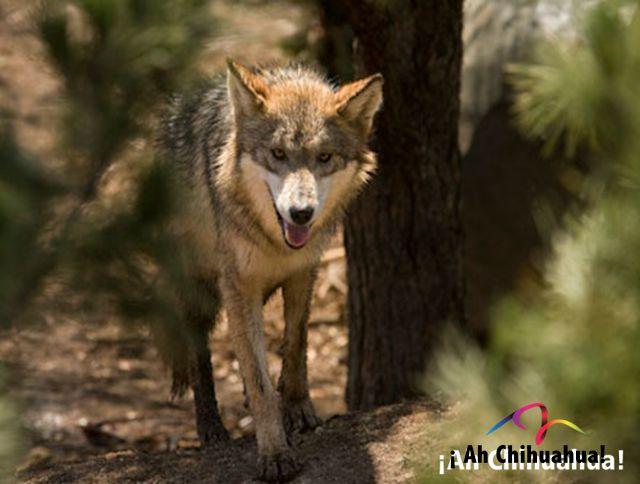 TURISMO EN CHIHUAHUA Te habla sobre el Valle de Allende, su clima es desértico, extremoso, las temperaturas extremas registradas son de 38 °C y de -11 °C, la flora predominante es de pastizales y distintos tipos de encinos y cipreses, la fauna principal son conejo, liebre, puma, gato montés y coyote. www.turismoenchihuahua.com