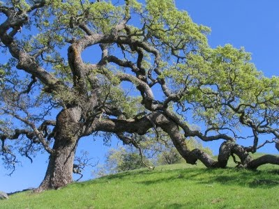 Oak Tree In Northern California Great Place For A Proposal Fresh Greens Pinterest And