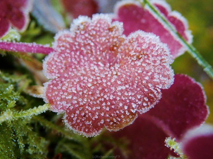 paars blad met vorst spikkels Purple leaf with frost spikes