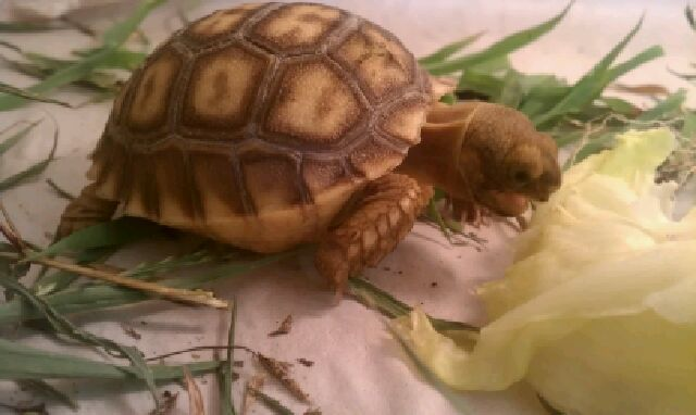 Baby Sulcata Tortoises for sale at Voracious Reptiles