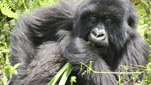 Safari in Bwindi Impenetrable National Park, Uganda. Come up close with the majestic gorillas. #wildlife #Africa #kilroy #backpacking #travel