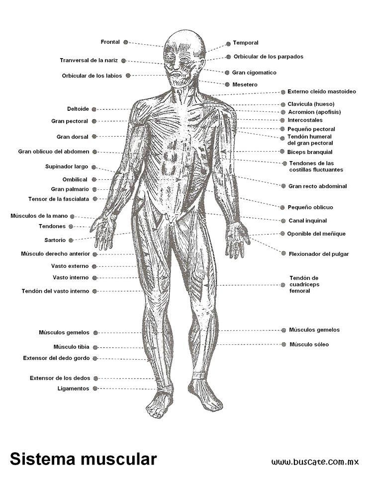 68 best Figura Humana images on Pinterest | Anatomía humana ...