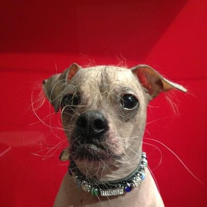 A collar worth going naked for! Statement from Mugly - The World's Ugliest Dog 2012.