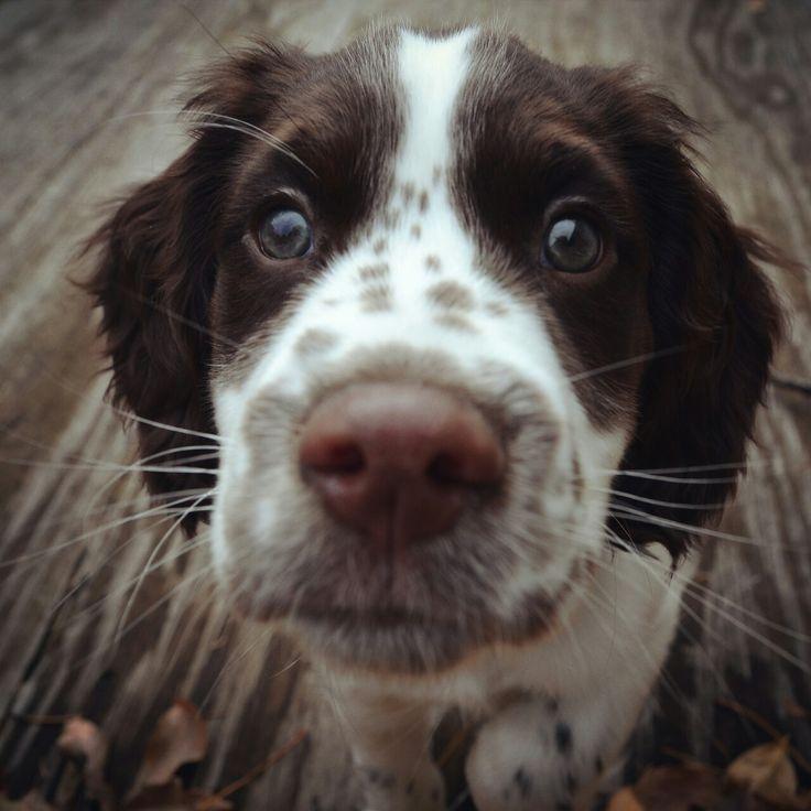 In Love! <3 #WildTraveller. springer spaniel pup:o)