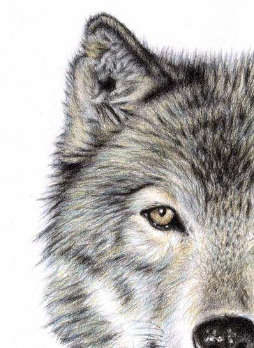 Wolf Eye , drawing by Nicole Zeug, www.arts-and-dogs.de