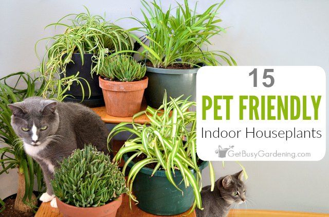 15 Indoor Plants That Are Safe For Cats And Dogs With Images Plants Pet Friendly Cat Safe Plants Plants