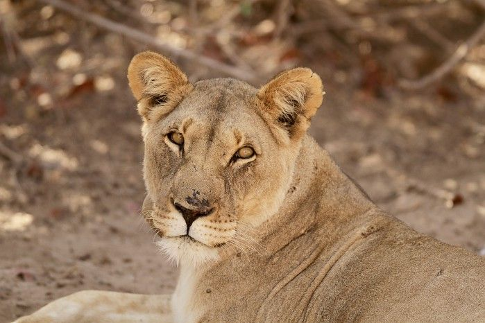 Desert-adapted lioness near Hoanib Skeleton Coast Camp