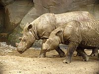 The Sumatran rhinoceros is the smallest of the rhino species