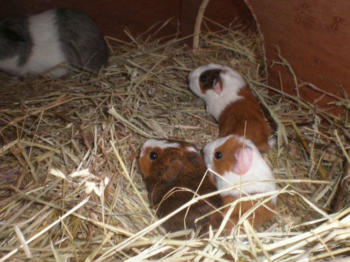 how to get a baby guinea pig to eat