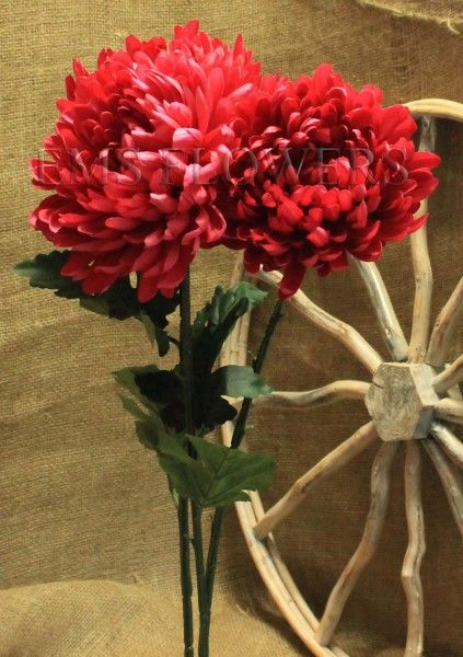 Chrysanthemum Cerise