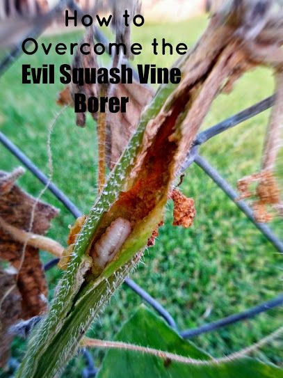 Greneaux Gardens: How to Overcome the Evil Squash Vine Borer