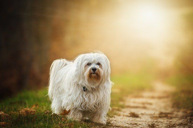 Top 10 Dog Breeds That Don T Shed Cute Dogs That Dont Shed Havanese Puppies Dog Breeds Training Your Dog