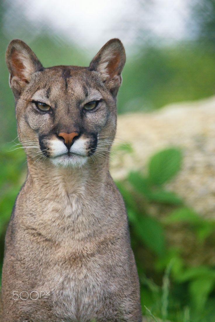 "Cougar detail - <a href=""https://www.facebook.com/OndrejChvatalFotograf/"">Facebook</a> / <a href=""https://www.ondrejchvatal.cz"">Ondrej Chvatal</a>"