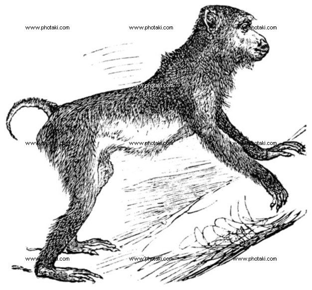http://www.photaki.com/picture-pig-tailed-macaque-or-macaca-nemestrina-vintage-engraving_1330130.htm