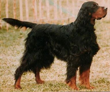 Gordon Setter is an originally bred to hunt pheasant and quail. Gordon Setters are still fine hunting companions and field trial competitors. Canines of this dog breed also compete in obedience, conformation, and agility and are a terrific family and companion dog. Read more at http://dogtime.com/dog-breeds/gordon-setter#gAqxPJpFKkE91cV3.99