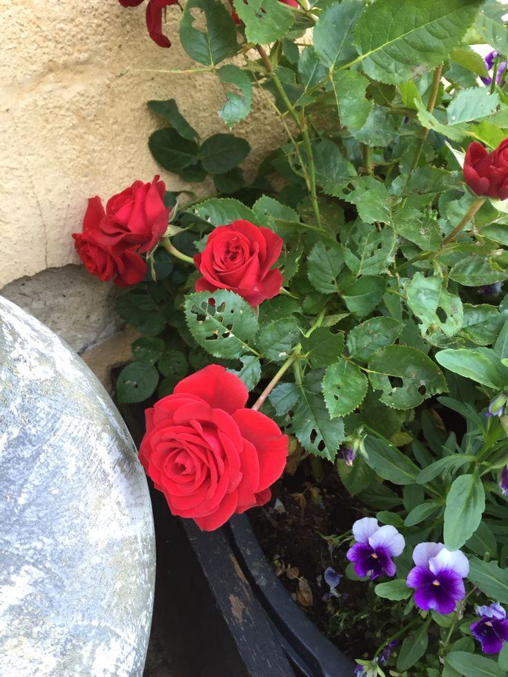 Flere røde roser