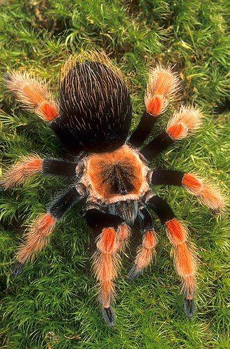 LA TARÁNTULA: artrópodo perteneciente a los arácnidos. son conocidas así ñas arañas de mayor tamaño, pueden variar de color y comportamiento de acuerdo de su especie. Carecen de esqueleto interno pero poseen una estructura rígida en su exterior llamada exoesqueleto que van mudando de 2 a 3 veces por año hasta alcanzar la madurez.