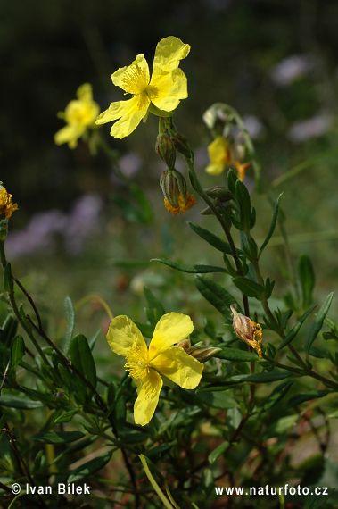 Devaterník velkokvětý tmavý (Helianthemum grandiflorum subsp. obscurum)