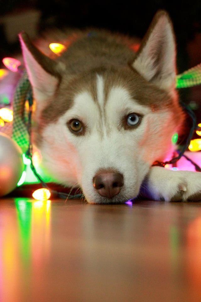 Siberian Husky Under Christmas Tree Siberian Husky Husky Puppy