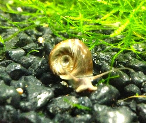 Ramshorn snails are popular aquarium snails. They grow fast and they grow large too. The ramshorn snail pictured above is from one of my planted shrimp tanks. They are great additions to planted aquariums. These aquarium snails eat mostly decaying plants and don't seem to eat the healthy plants. If you want more just leave dead plant pieces and extra food in your aquariums. If you keep your aquariums cleaner they reproduce very slowly and are easy to maintain.