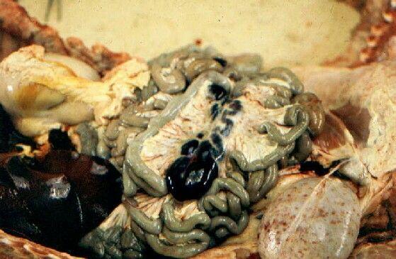 Linfadenite hemorrágica dos linfonodos mesentéricos na Peste Suína Africana (Fonte: http://intranet.fmv.utl.pt/atlas)