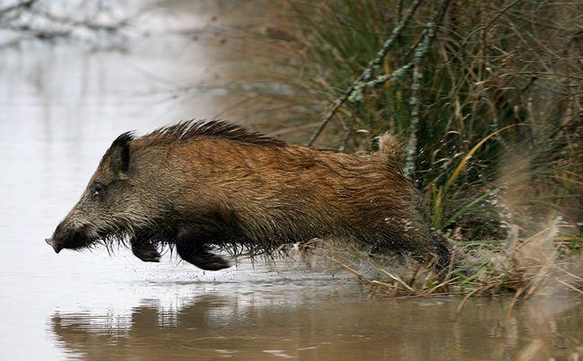 Wild everzwijn dat over water WILT springen.