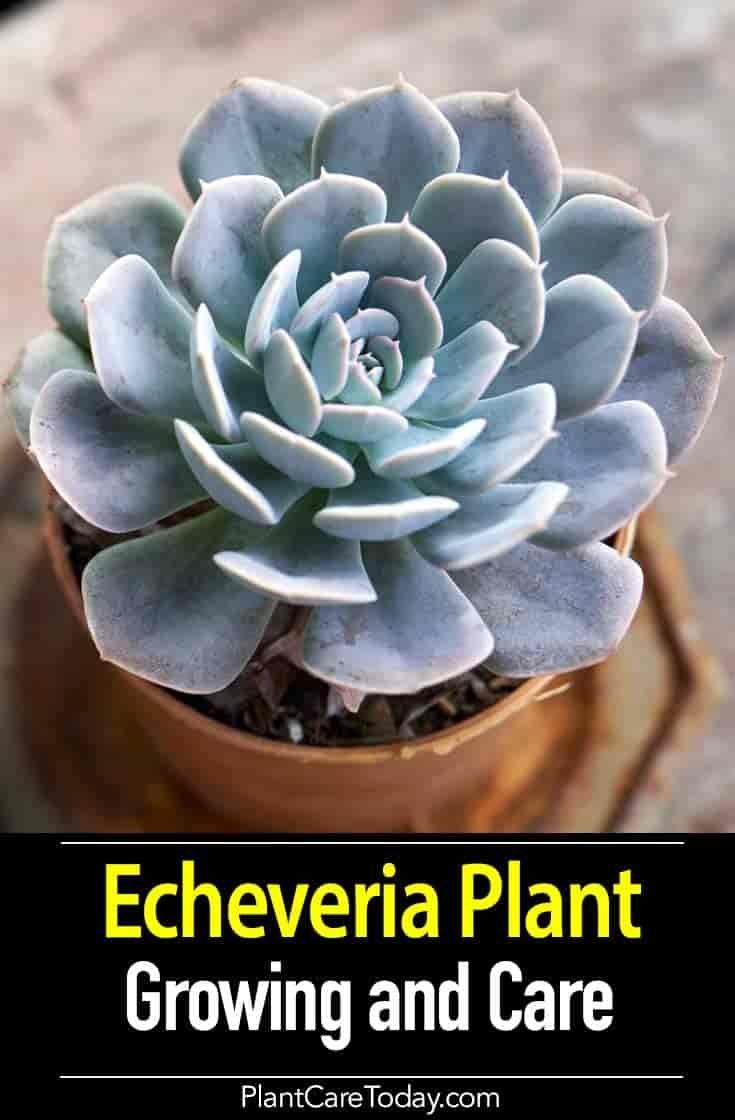 Echeveria Plant Care Growing Succulent Echeveria Types