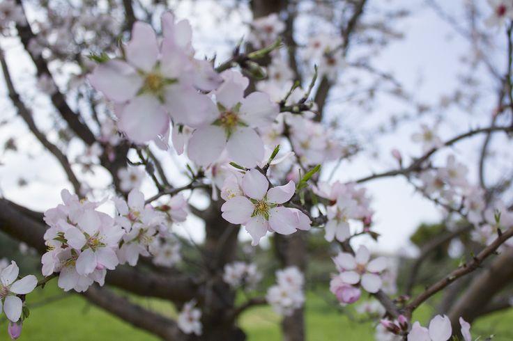 Almond flowering, Rhodes Greece