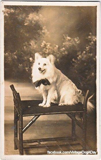 Volpino Italiano type, c.1915, France