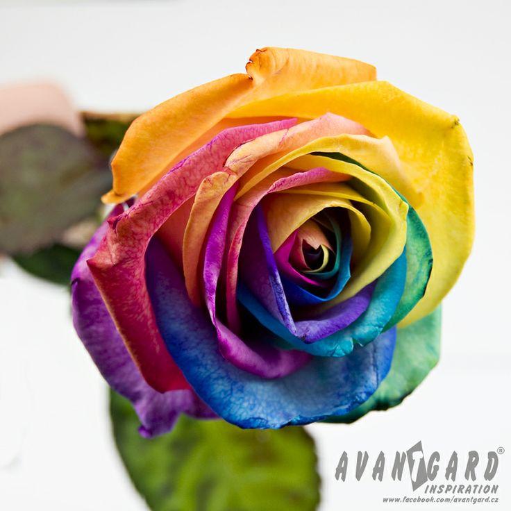 Duhová růže / Rainbow rose, flowers