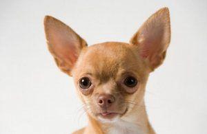 Ngeri Anjing Chihuahua Tiba-tiba Melayang di Udara