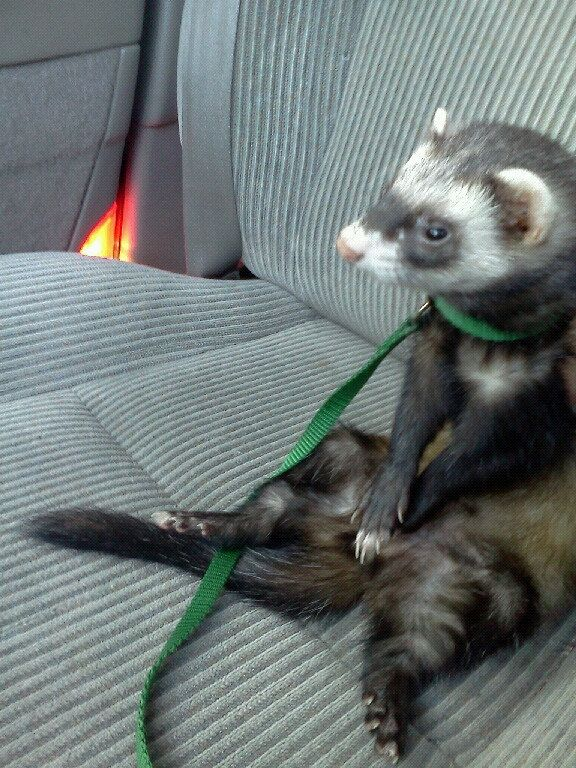 They�ll be patient while you figure out directions. | 19 Reasons Ferrets Make The Most Adorable Pets