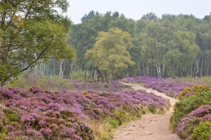 Stanton Moor covered in flowering heather. Peak District National Park, UK. August.