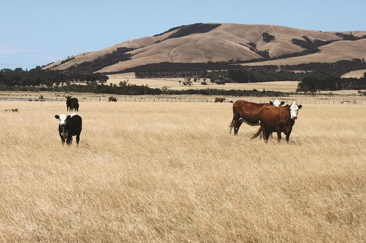 500 cattle are finished at Waiorongomai Station, south of Featherston.