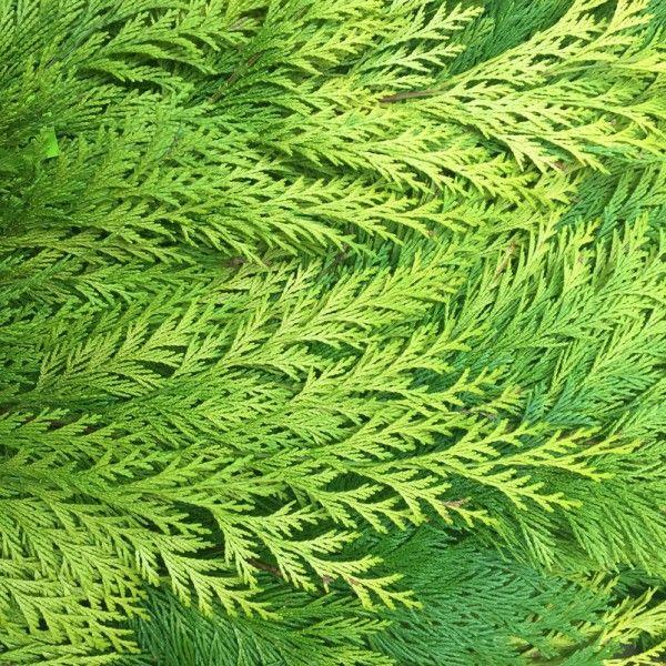 Adventsdeko von Pflanzen-Kölle: Kölle's Bio Zypresse gelb Handbund  Lange haltbare, allergikergeeignete gelbe Zypresse aus ökologischem Landbau. Ideal zum Fertigen von Adventskränzen, Sträußen, Gestecken.