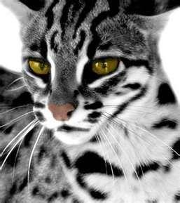 bengel house cat