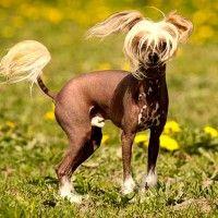 #dogalize Razas de perros sin pelo: ¡divertidísimas! #dogs #cats #pets