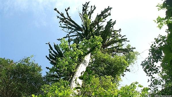 Euphorbia tanaensis, Kenia