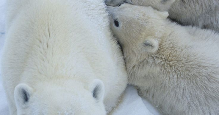 Crecimiento y adaptaciones de los osos polares. Los osos polares son mamíferos grandes y blancos que se encuentran en el norte de las regiones árticas del mundo donde reinan en la parte superior de la cadena alimenticia. Las temperaturas en su hábitat pueden ser tan bajas como de -27 grados Fahrenheit (-32 grados Celsius). Para sobrevivir a un ambiente tan duro, los osos polares han ...