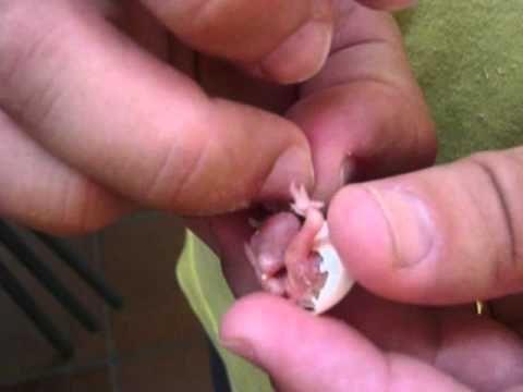 Amazing Newborn Teacup Chihuahua - Chihuahua de Bolsillo Recien Nacido - YouTube