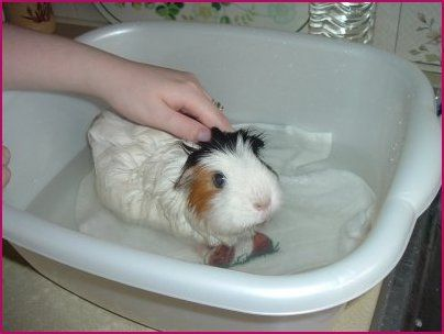 Bathing your Guinea Pig